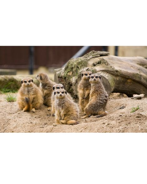 Meet The Meerkats - Experience Voucher